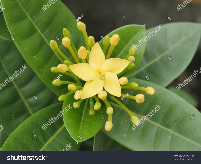 Ixora Flower Spike Flower Jungle Flame Stock Photo Royalty Free
