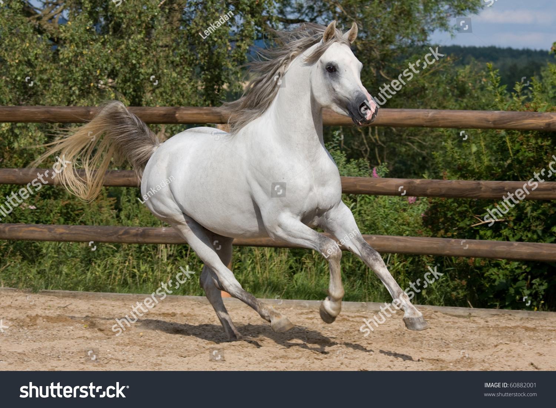 Nice White Arabian Horse Running Stock Photo 60882001 ...