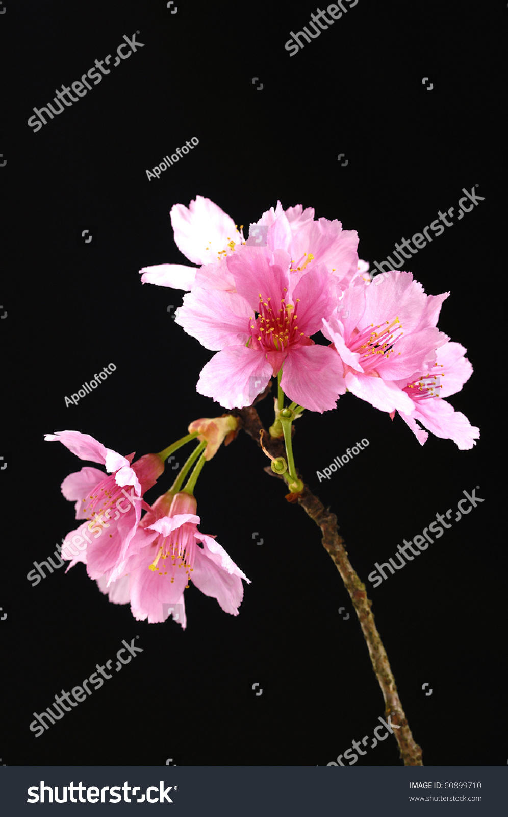 Beautiful flowers blooming cherry on black stock photo royalty free beautiful flowers blooming cherry on a black background izmirmasajfo