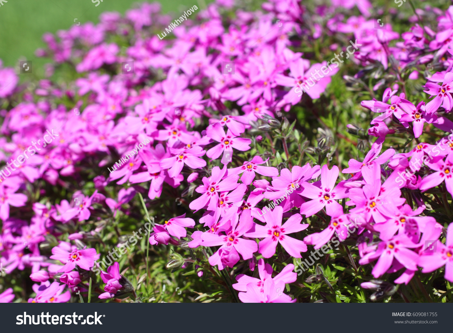 Wild Pink Alpine Flowers Growing On Stock Photo Edit Now 609081755