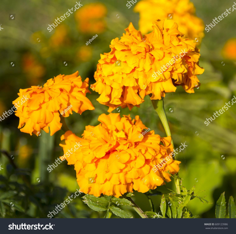 Royalty Free Common Double Orange Marigold Genus 609123986 Stock