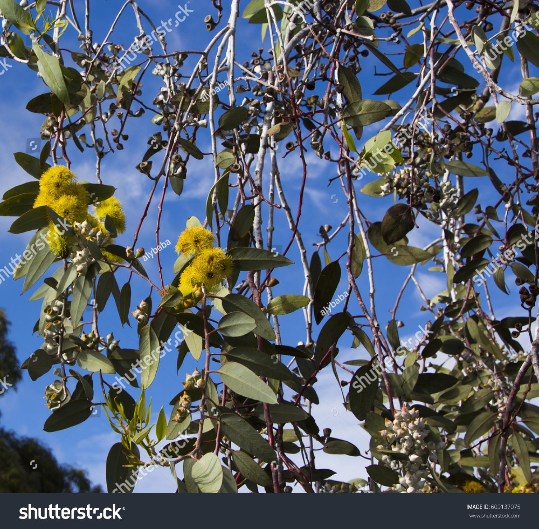 Beautiful lemon yellow flowered australian eucalyptus stock photo beautiful lemon yellow flowered australian eucalyptus woodwardii lemon flowered gum tree species with silvery white mightylinksfo