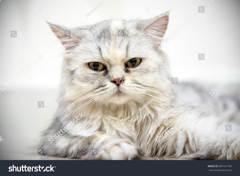 Portrait Chinchilla Persian Cathead Shot Stock