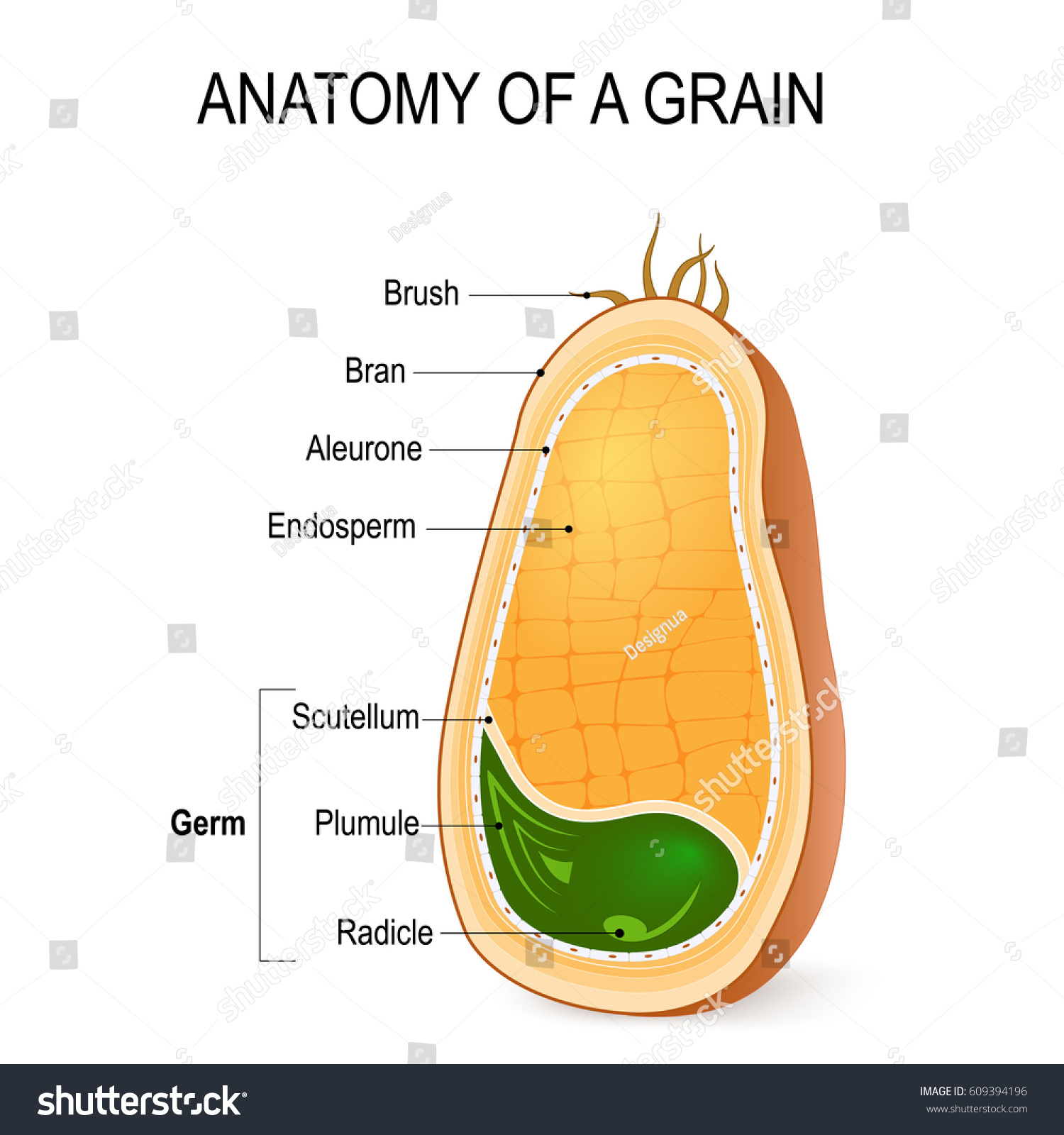 Anatomy Grain Cross Section Inside Seed Stock Photo (Photo, Vector ...