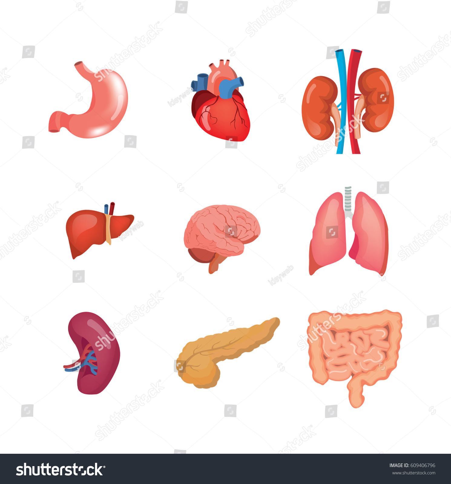 Human Organs Anatomy Heart Liver Brain Stock Vector 609406796 ...