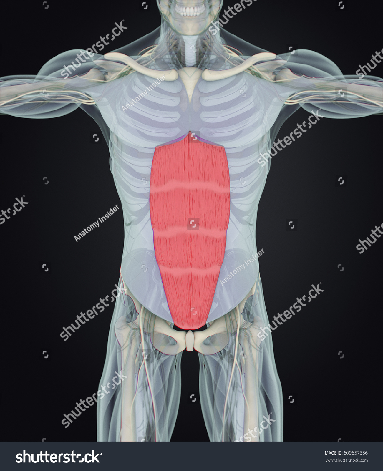Rectus Abdominus Stomach Muscles Human Anatomy Stock Illustration ...