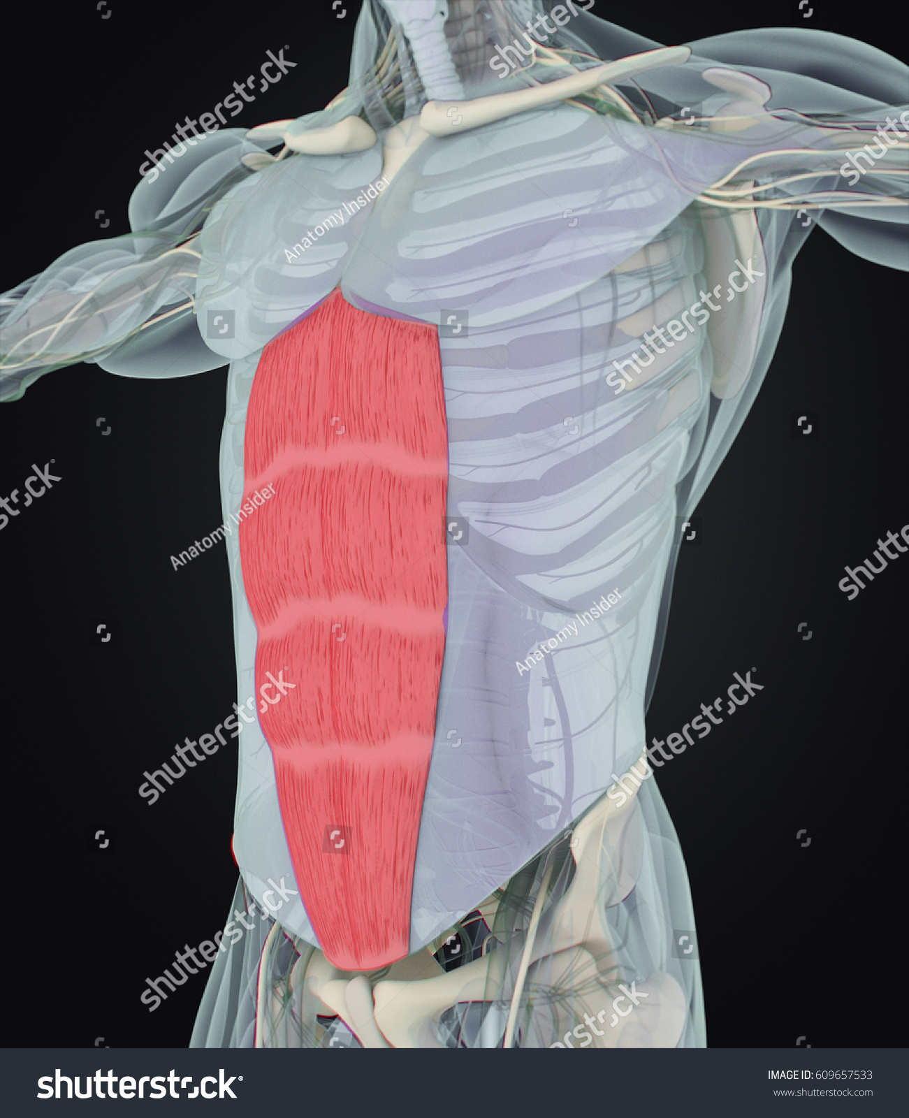 Rectus Abdominus Stomach Muscles Human Anatomy Stock Illustration ...