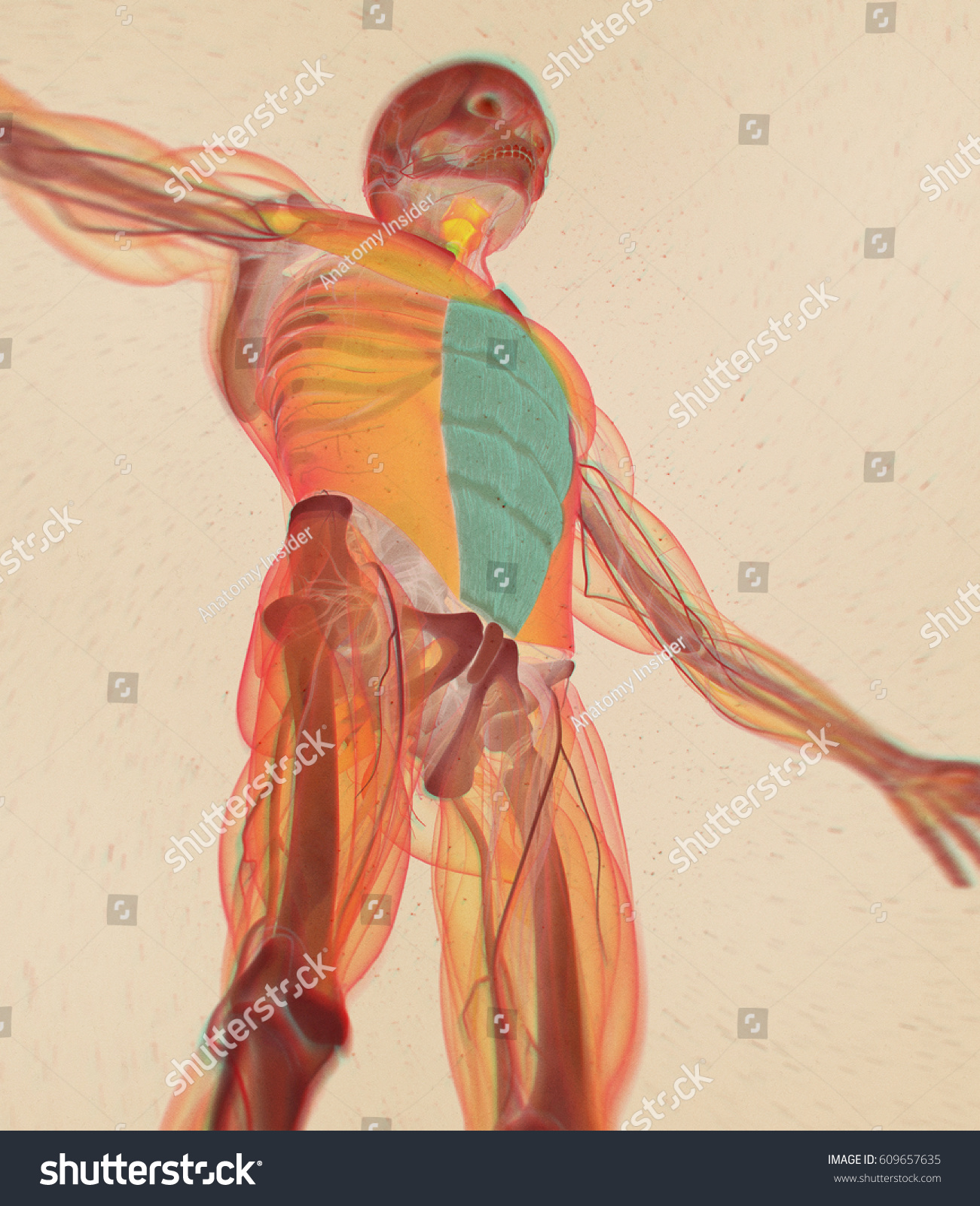 Royalty Free Stock Illustration Of Rectus Abdominus Stomach Muscles