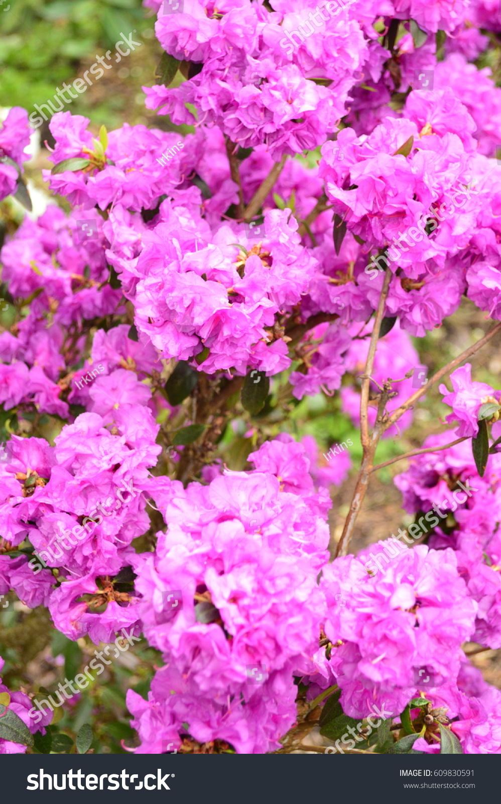 Flowering Bushes Flowers Oregon Stock Photo Edit Now 609830591