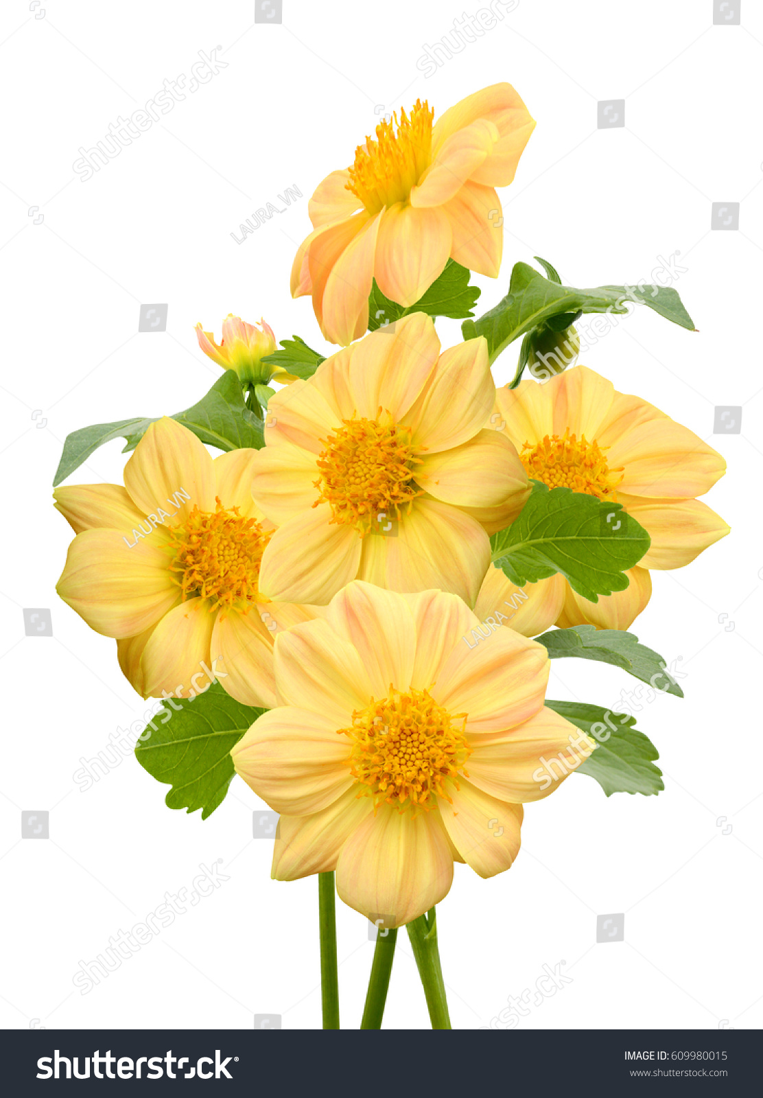 Beautiful Bouquet Of Yellow Dahlia Flower Isolated On White