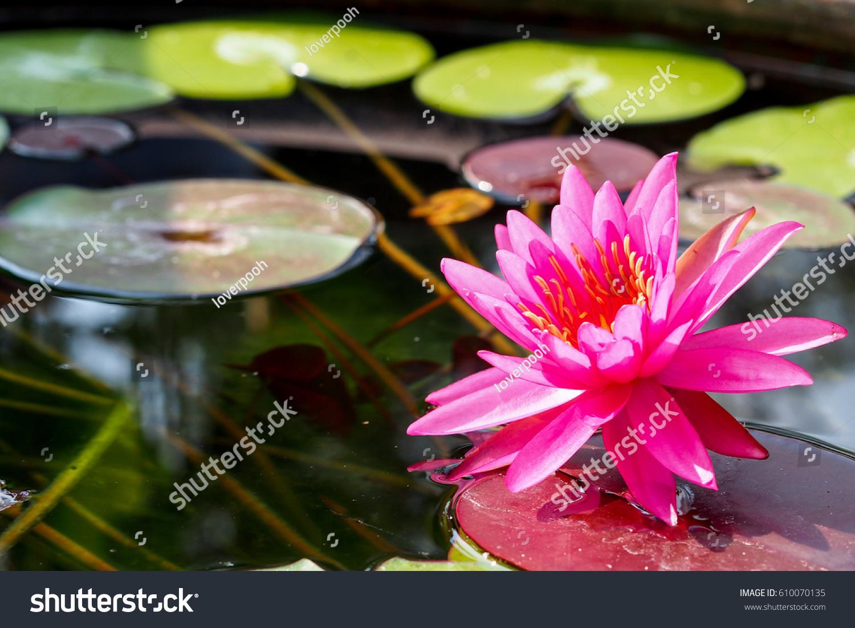 Pink lotus flower on lake close beautiful stock photo edit now pink lotus flower on the lakeclose up beautiful lotus nature wallpaper background izmirmasajfo