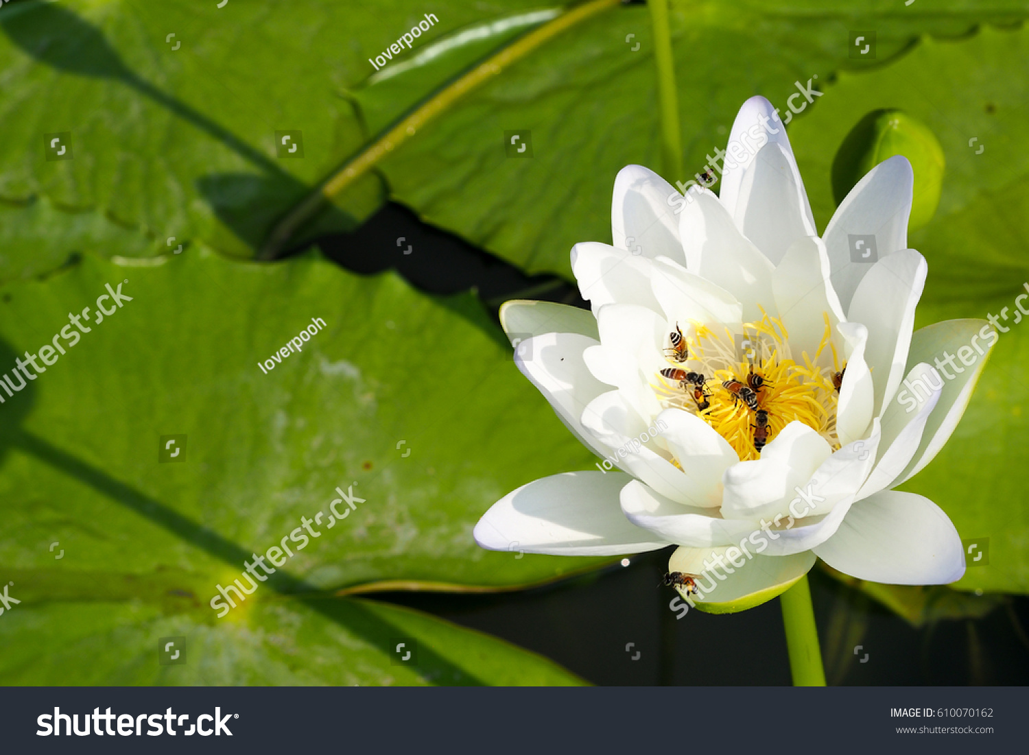 White lotus flower on lakeclose beautiful stock photo royalty free white lotus flower on the lakeclose up beautiful lotus and bees nature wallpaper izmirmasajfo Image collections