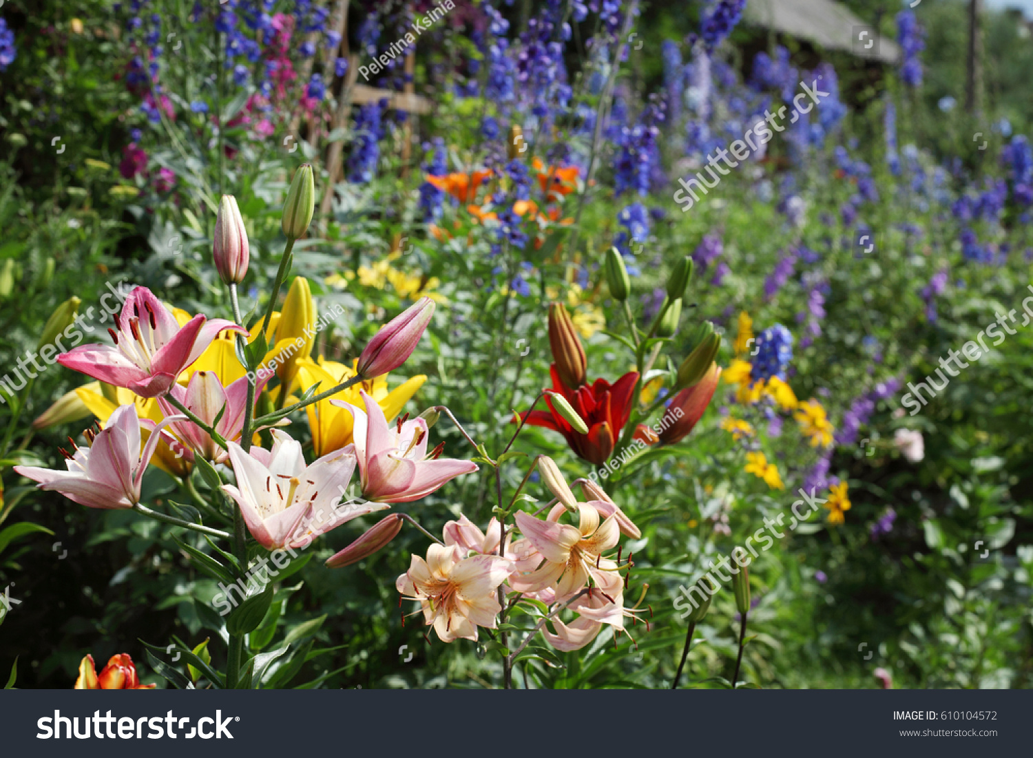Corner Garden Lily Flowers Different Colors Stock Photo Edit Now