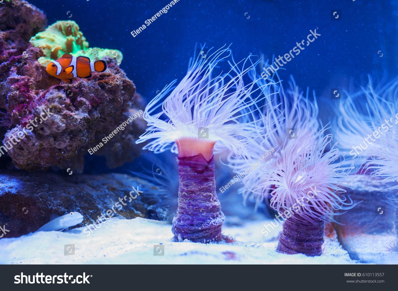 Fish Clown Swimming Near Anemones On Stock Photo 610113557
