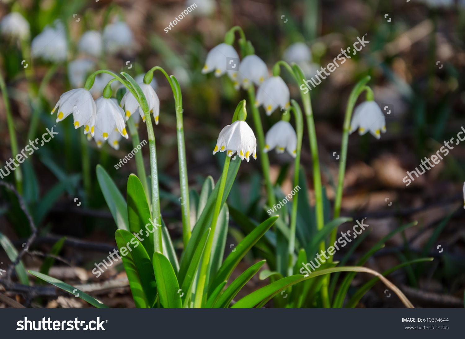 First Flowers Of Spring Snowdrops Flowers On A Background Of A