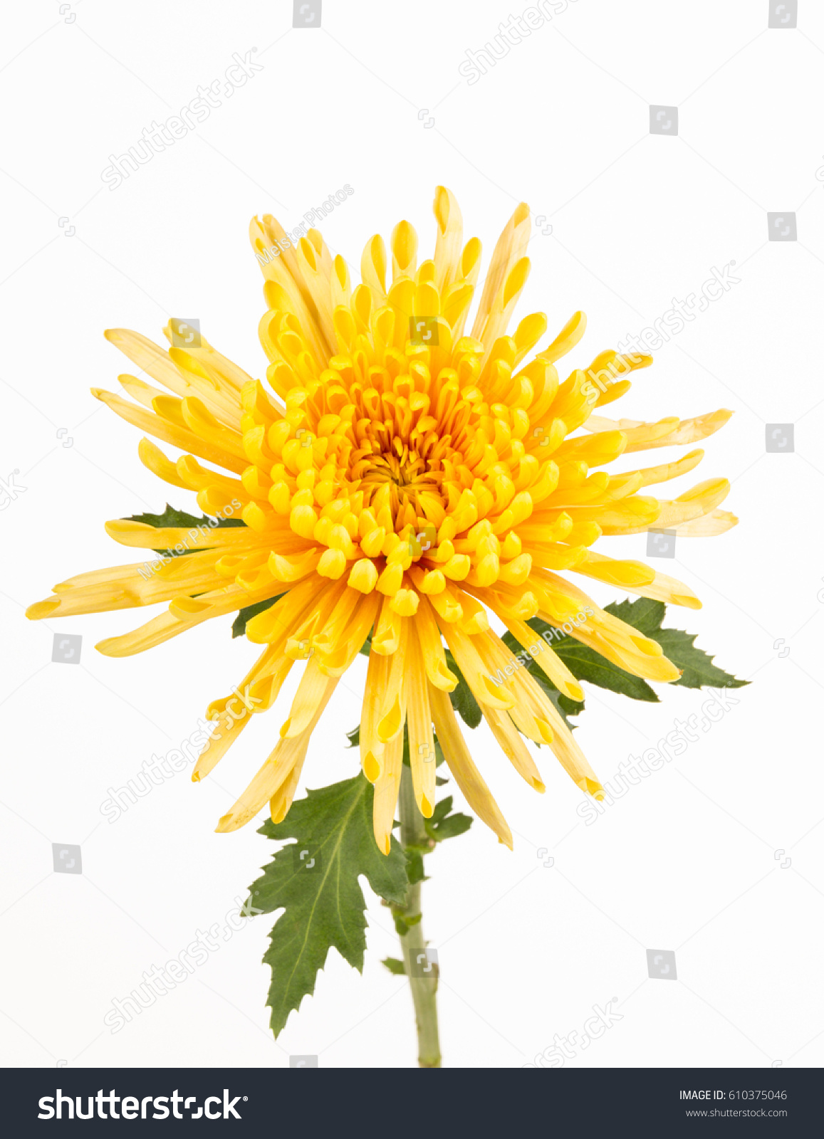 Close Yellow Spider Mum Flower Leaves Stock Photo Edit Now