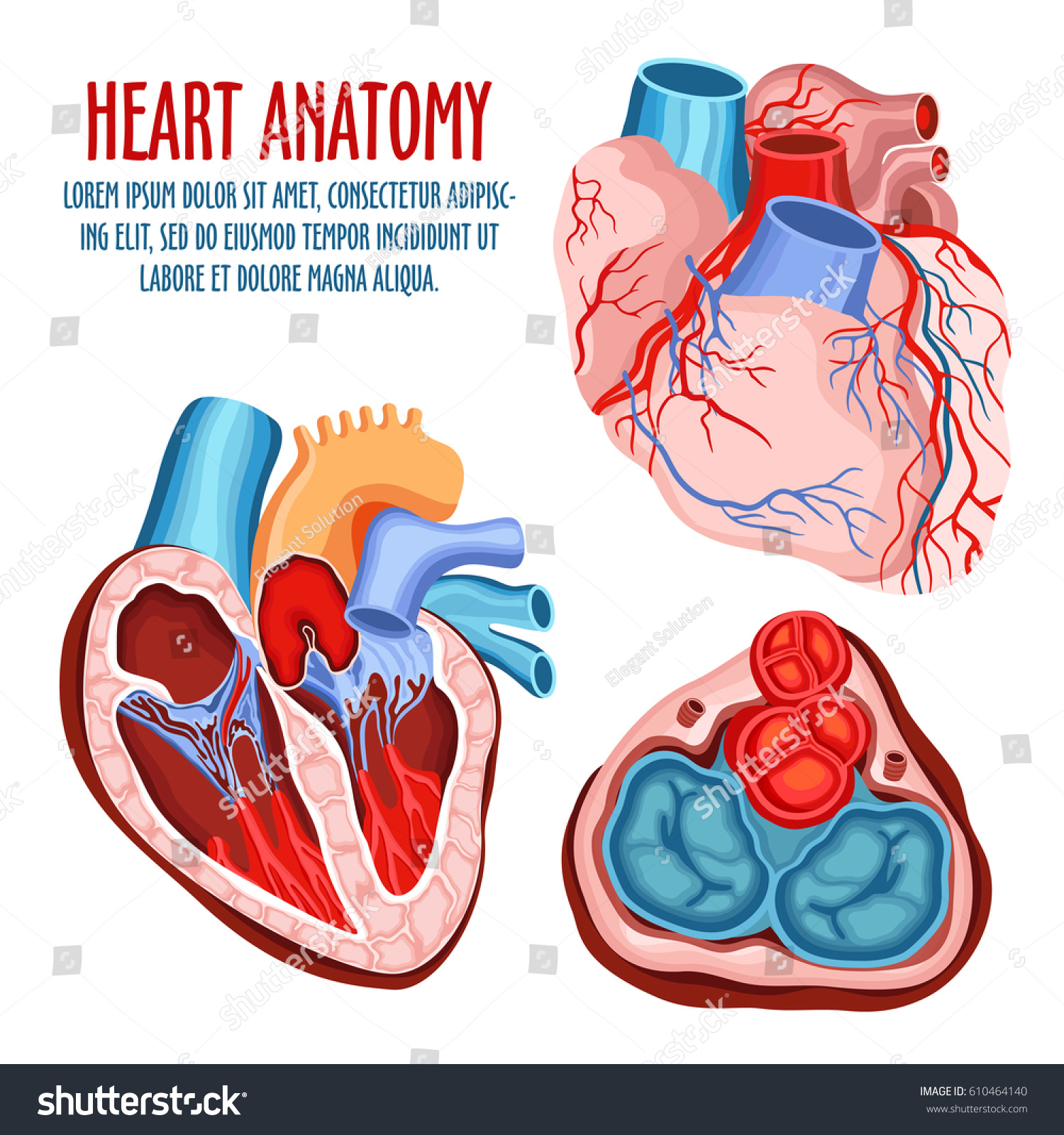 Anatomy Heart Human Coronary Organ Atrium Stock Vector 610464140