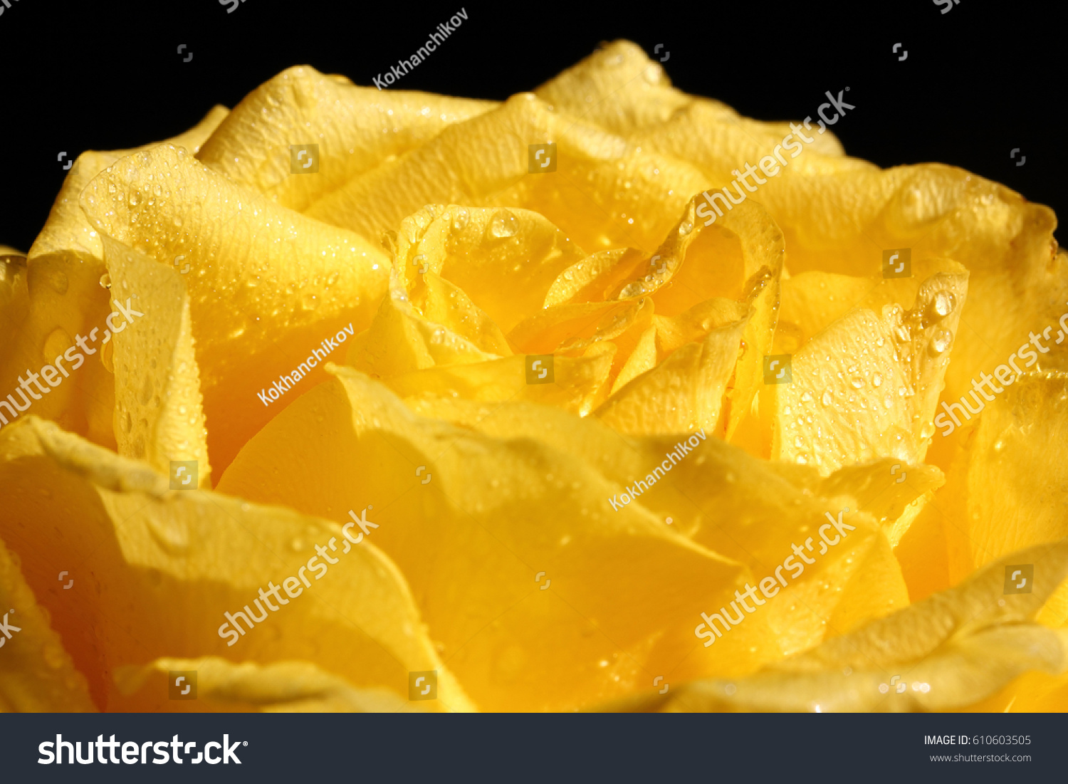 yellow roses with water drops - photo #35