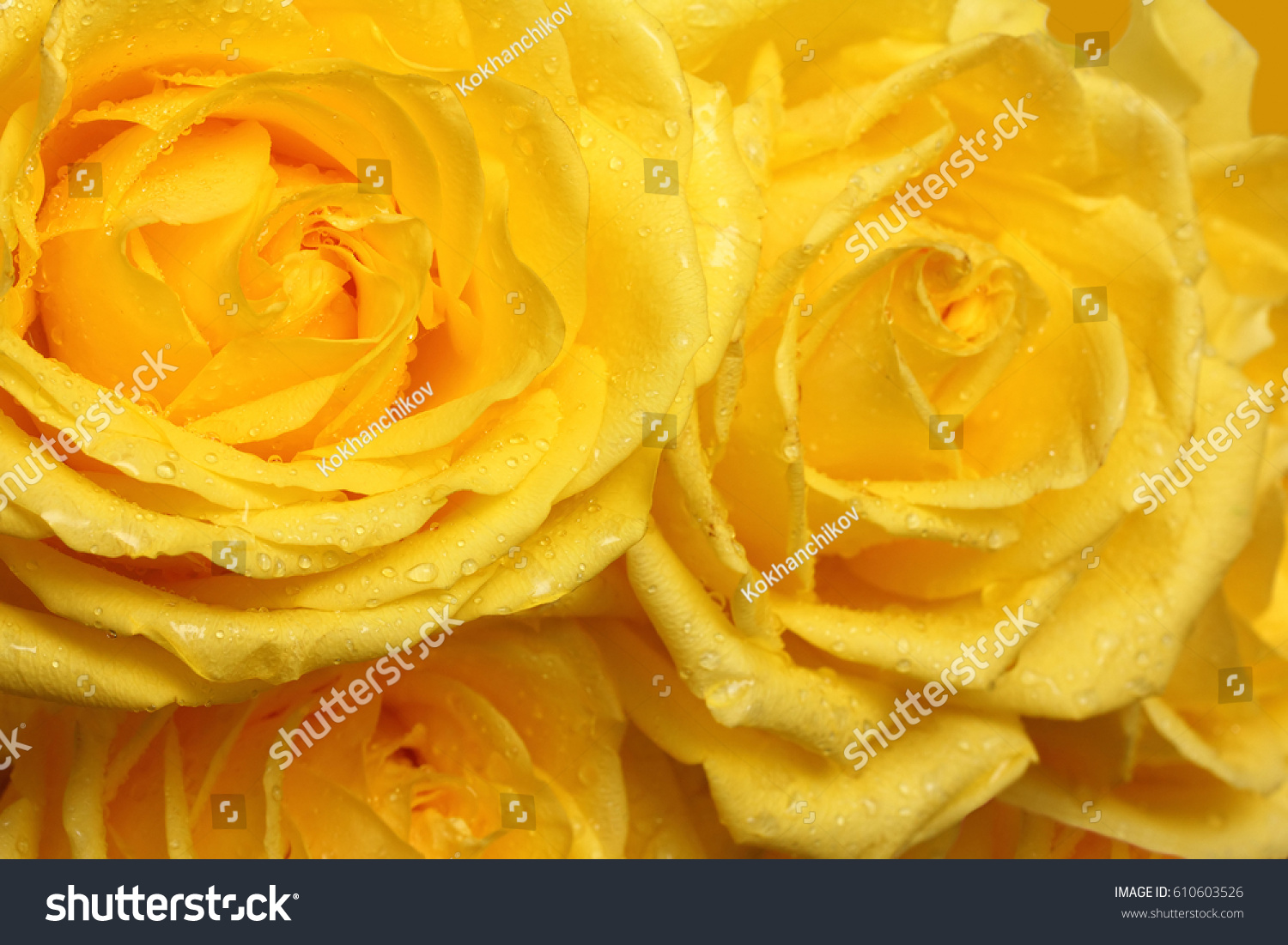 yellow roses with water drops - photo #43