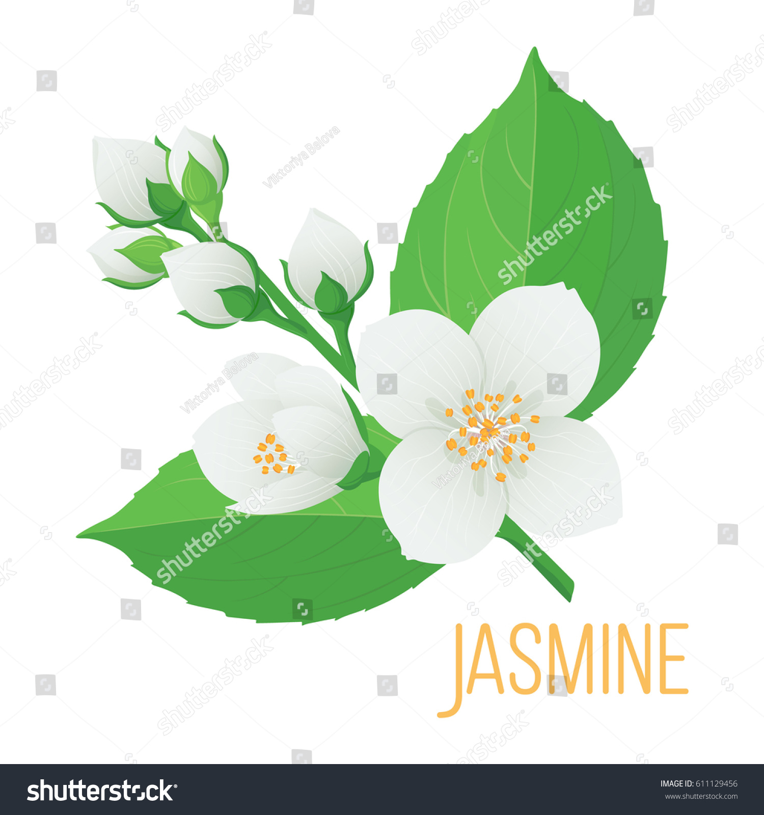 Colorful Tender Branch Jasmine Flower Buds Stock Vector Royalty