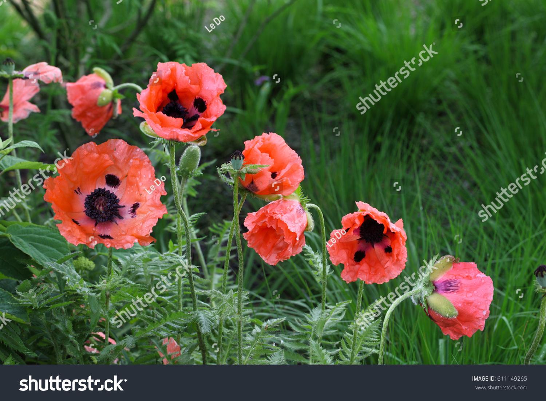 Salmon Color Poppy Flower Plants Garden Stock Photo Edit Now