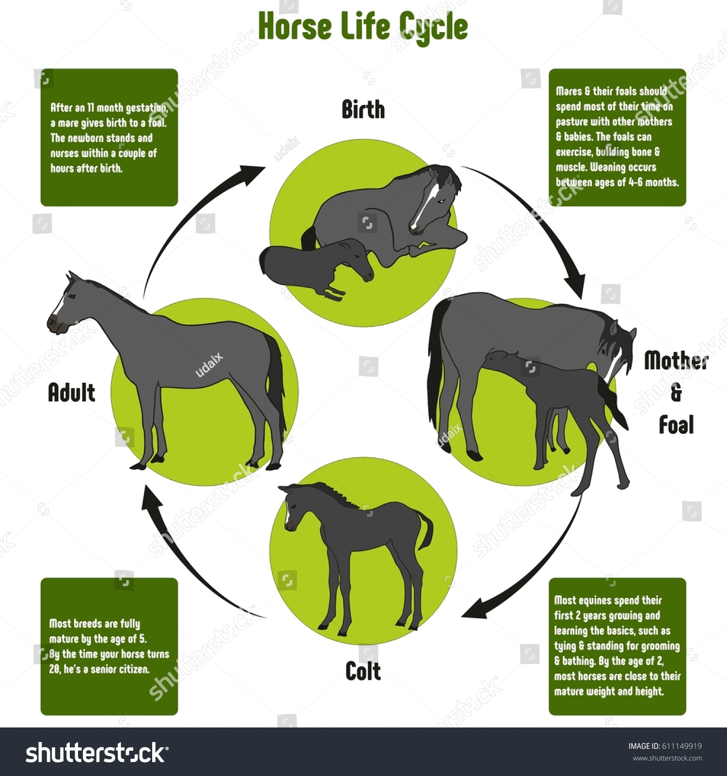 Horse life cycle diagram all stages stock vector 611149919 horse life cycle diagram with all stages including birth mother and foal colt and adult simple pooptronica Choice Image