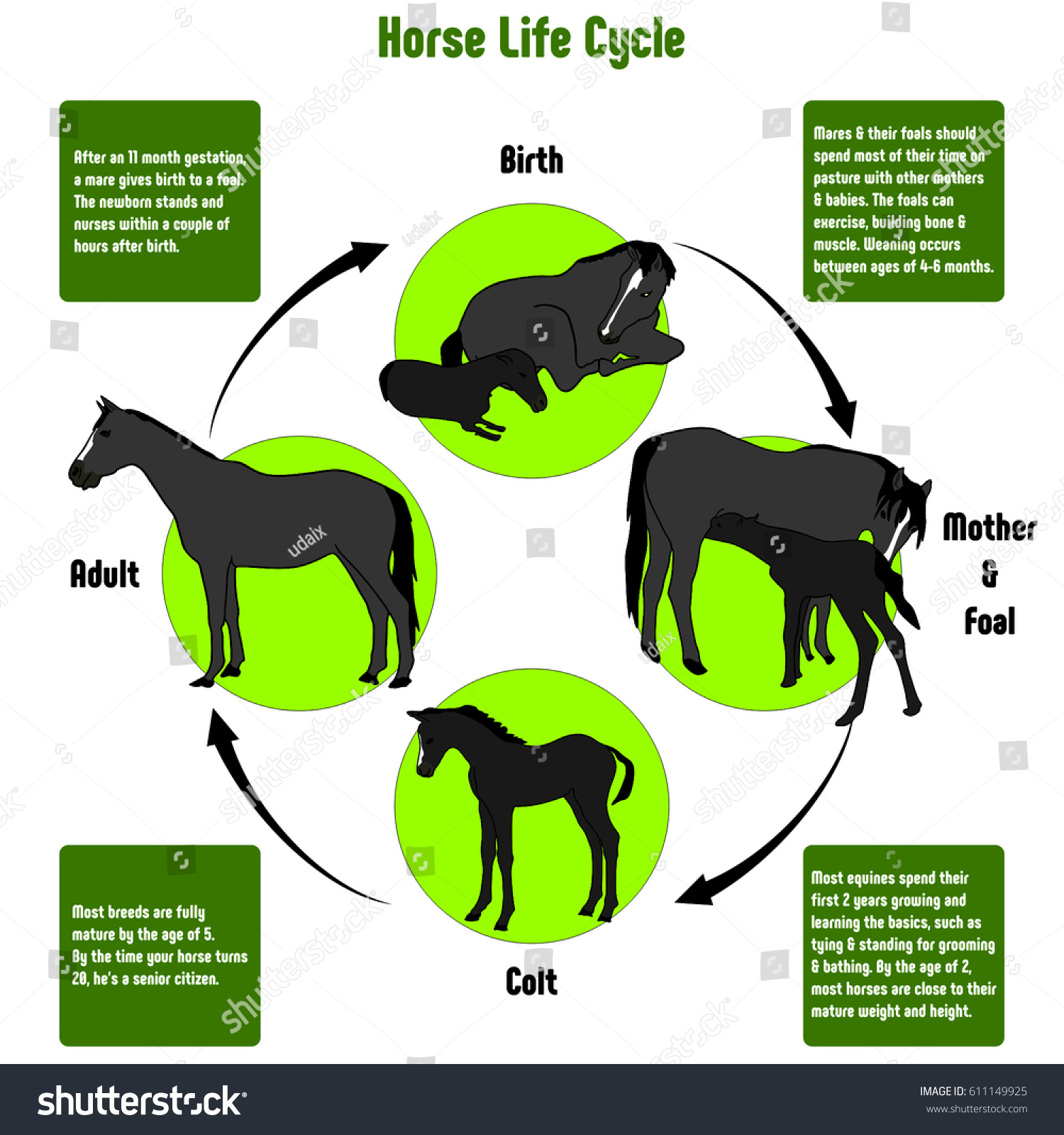 Horse life cycle diagram all stages stock illustration 611149925 horse life cycle diagram with all stages including birth mother and foal colt and adult simple pooptronica Image collections