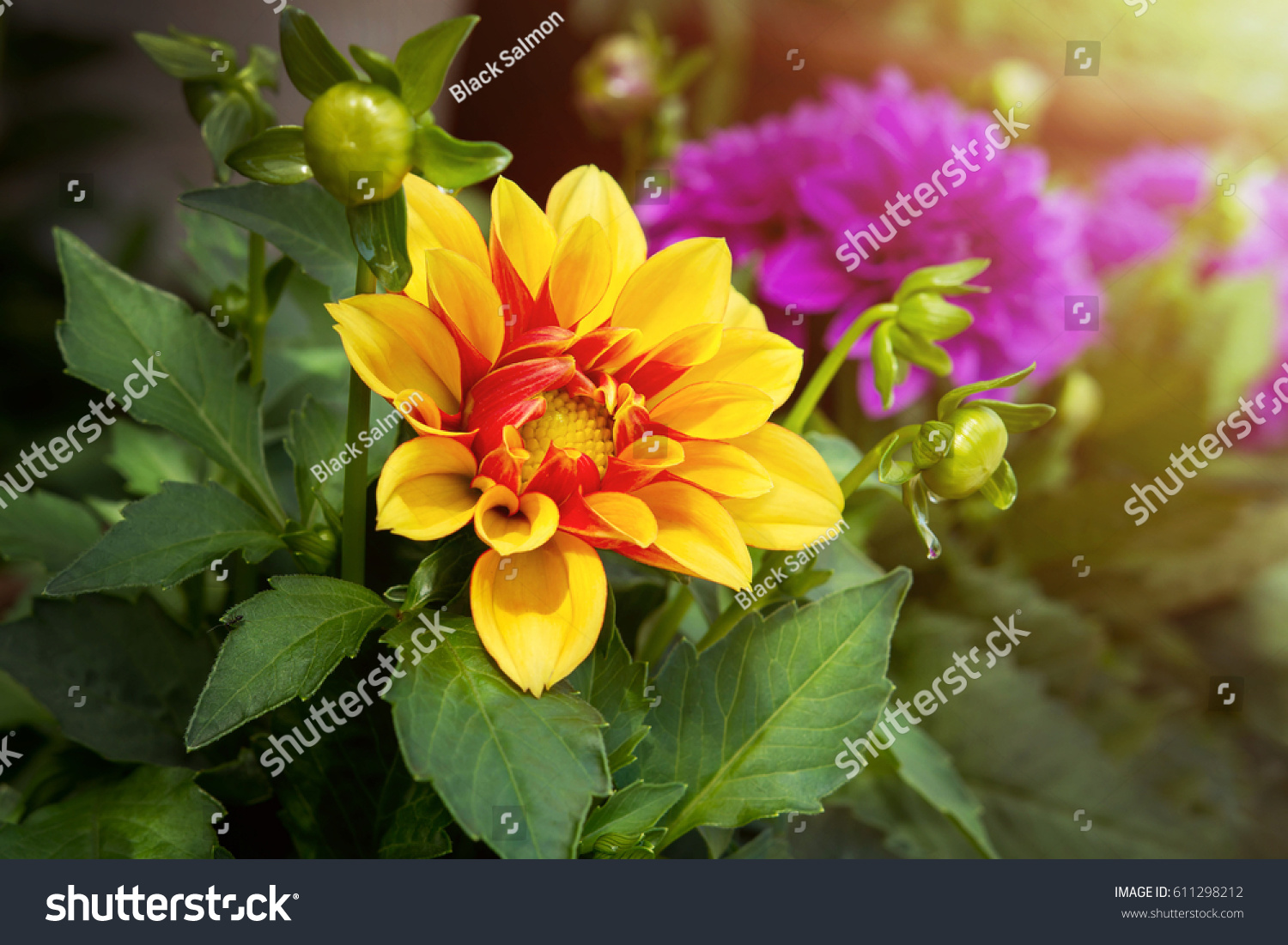 Dahlia Flower Yellow Red Color Garden Stock Photo Royalty Free