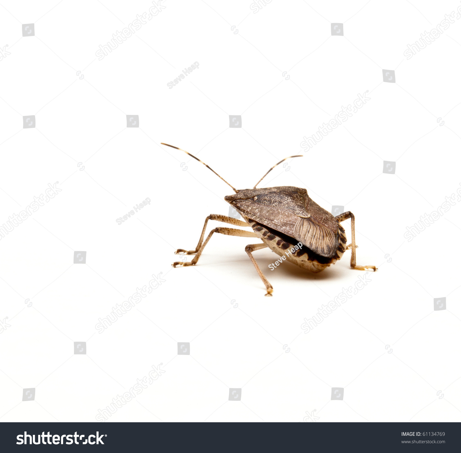 how to get rid of brown marmorated stink bug