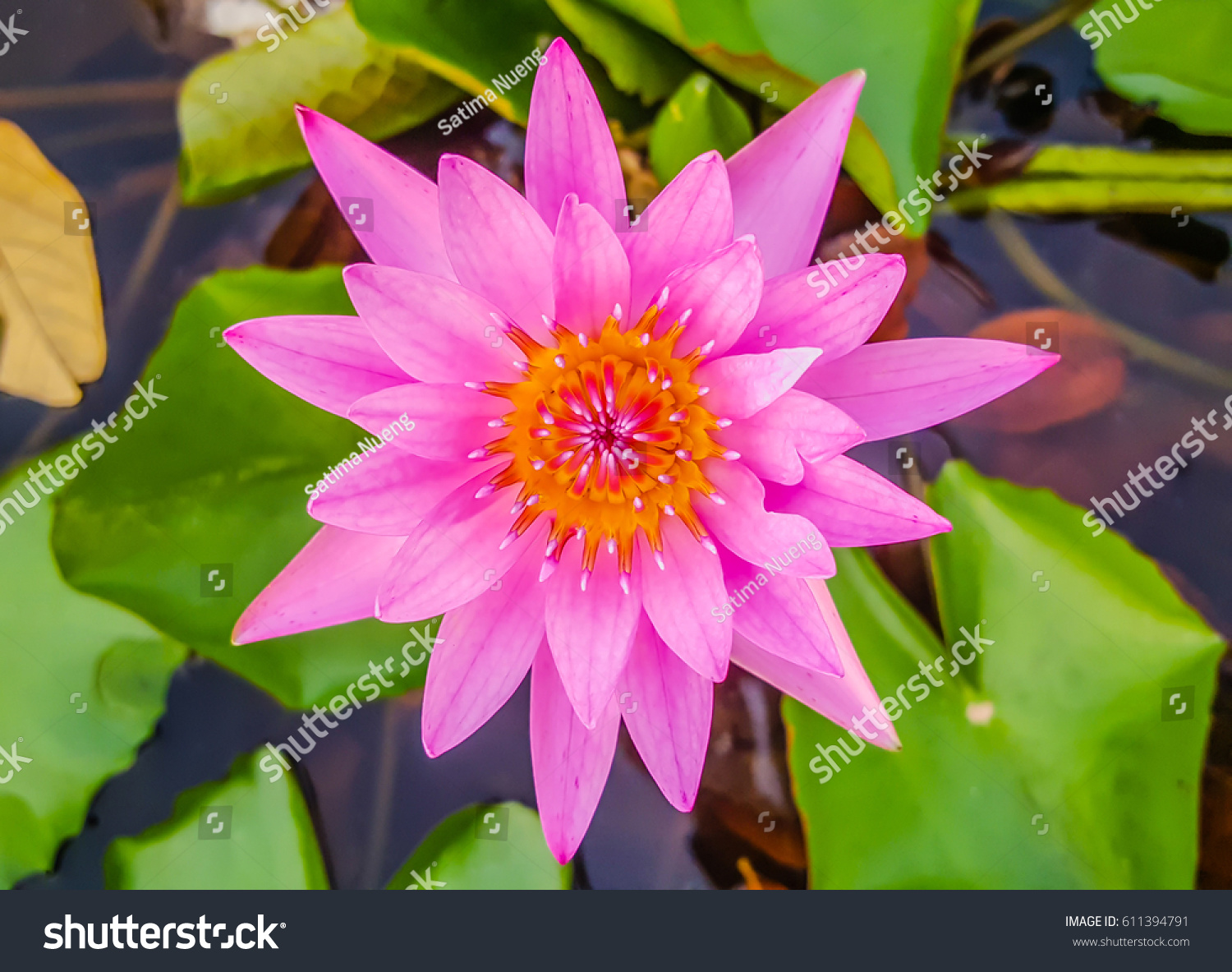 Beautiful blooming pink water lily and lily pad background ez canvas id 611394791 izmirmasajfo