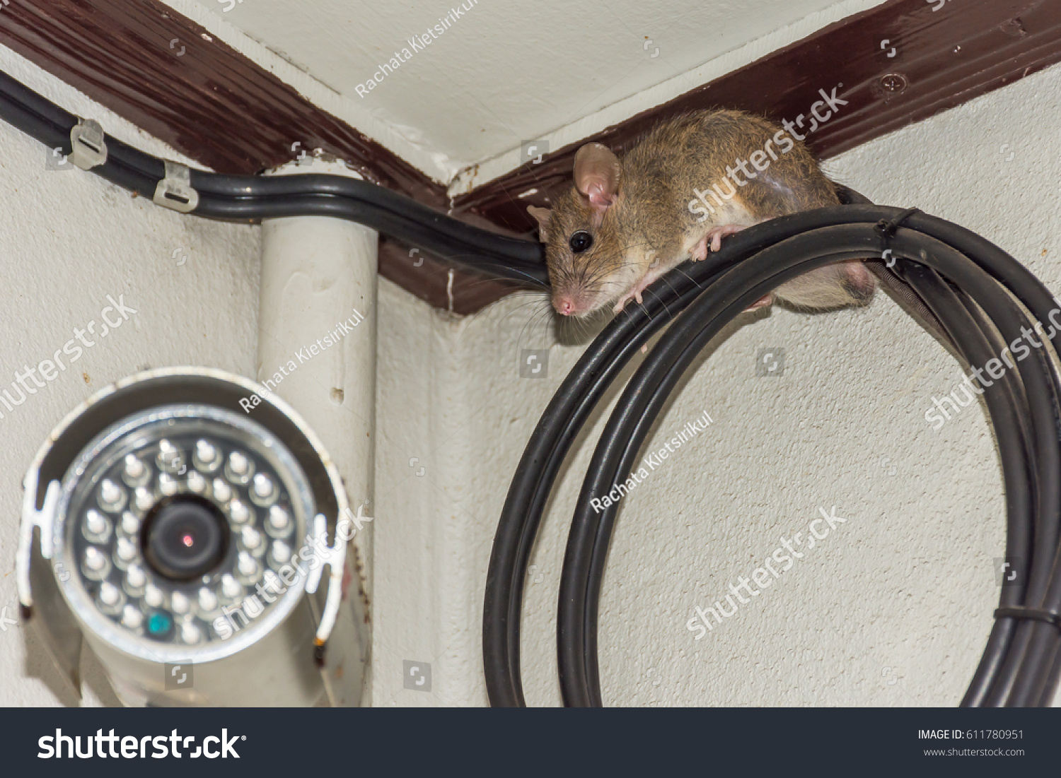 House Brown Rat On Fiberoptic Cable Stock Photo Edit Now 611780951 Wiring For Fiber Optics Optic Behind Security Camera Cctv