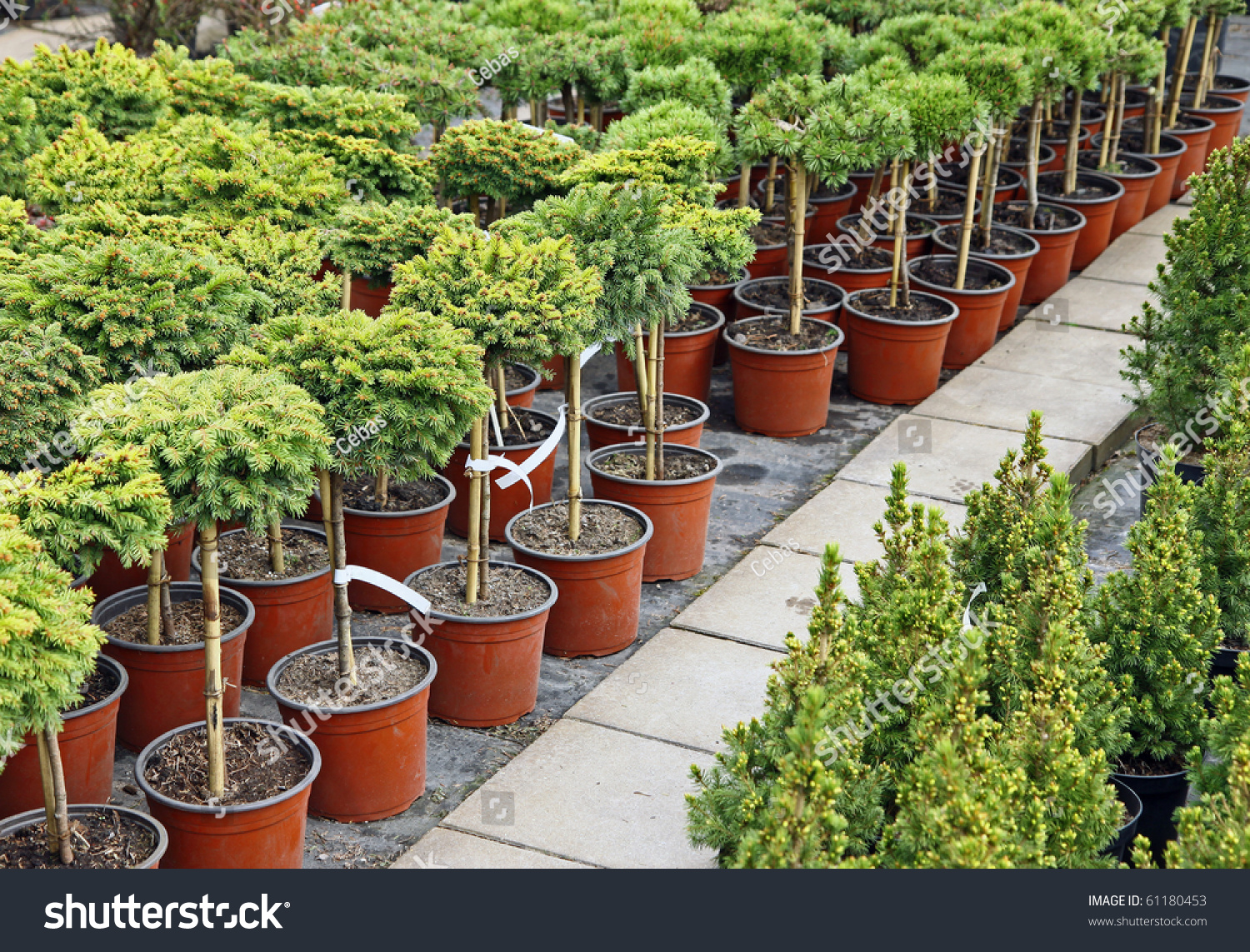 Coniferous Garden Plants Being Sold Plant Stock Photo 61180453