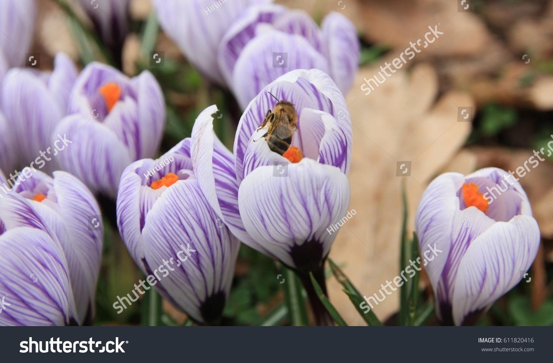 Bee Crocus Flower Crocuses Blooming Garden Stock Photo 100 Legal