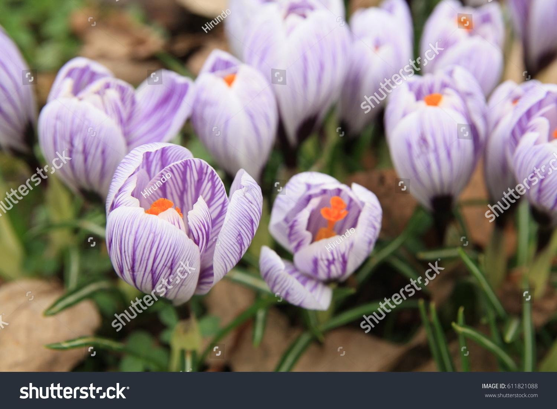 Crocuses Blooming Garden White Purple Striped Stock Photo Edit Now