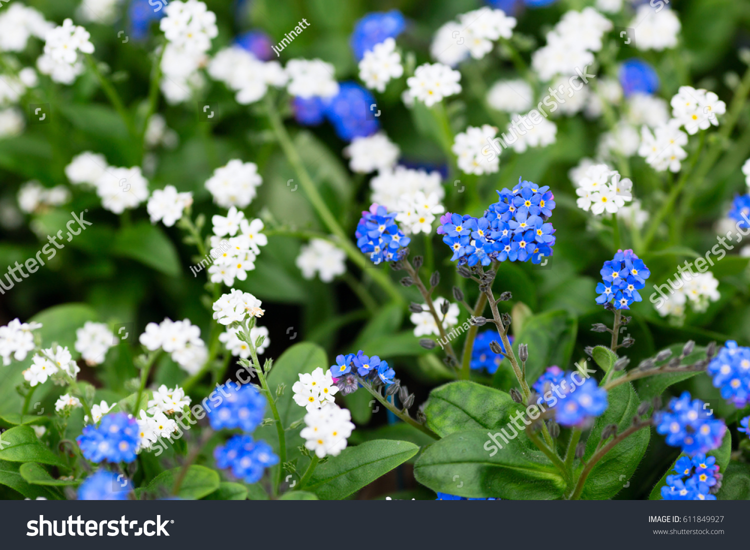 Delicate Bright Blue White Small Flowers Stock Photo Edit Now