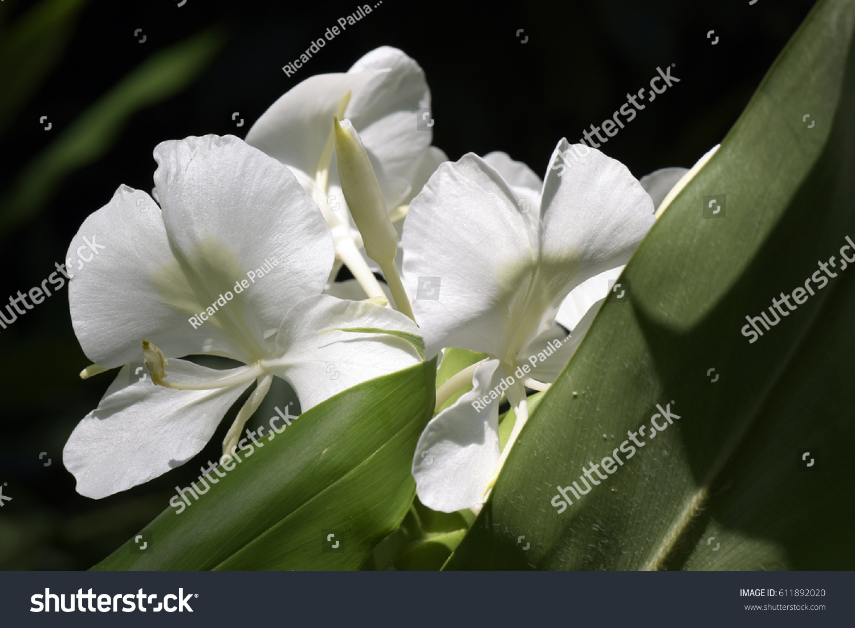 White Ginger Lily Hedychium Coronarium Flower Stock Photo Edit Now