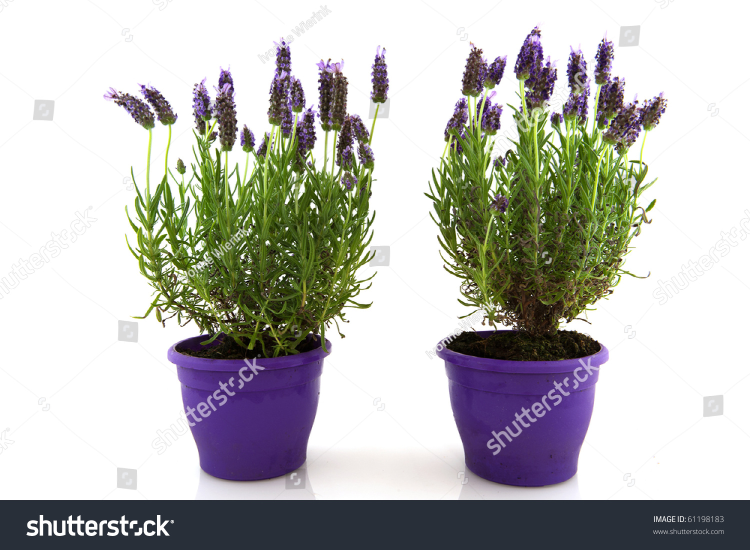 Lavender stoechas plant purple flower pot stock photo 61198183 shutterstock - Growing lavender pot ...