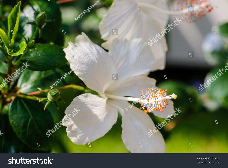 White Hibiscus Flower Stock Photo Edit Now 612036980 Shutterstock