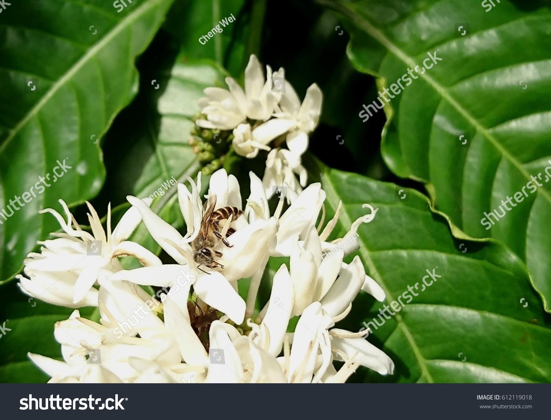 Asiatic Honey Bee Apis Cerana Visits Stock Photo Edit Now