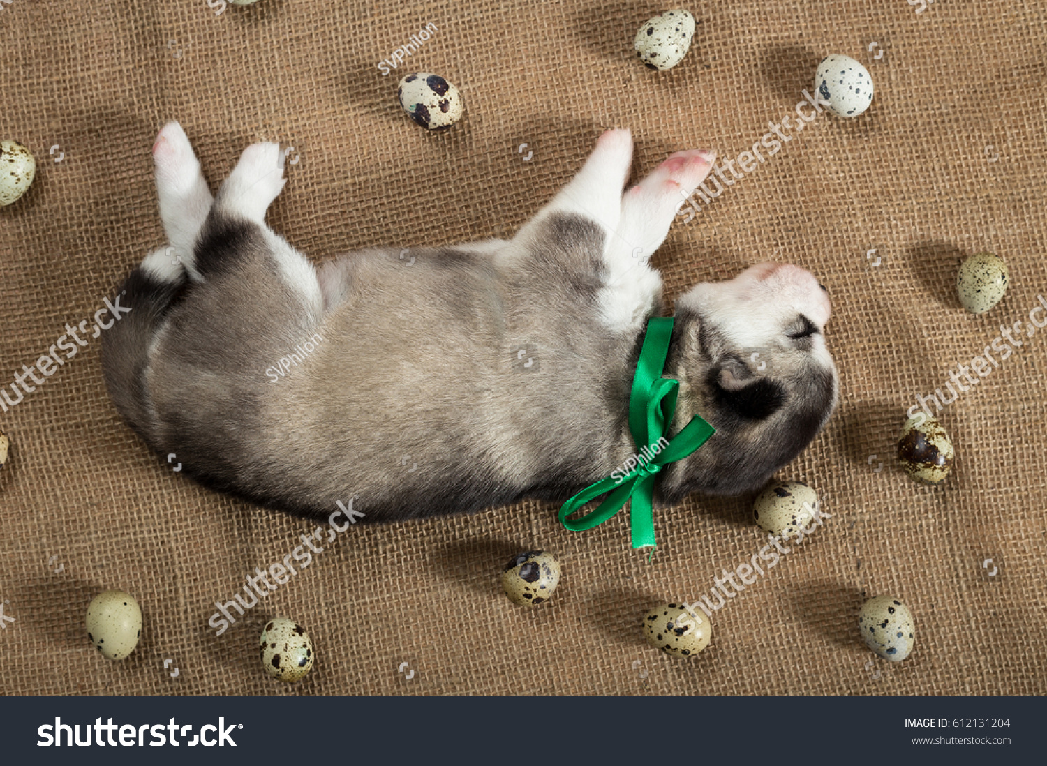 Puppy Siberian Husky Sleeps Surrounded By Stock Photo Edit Now