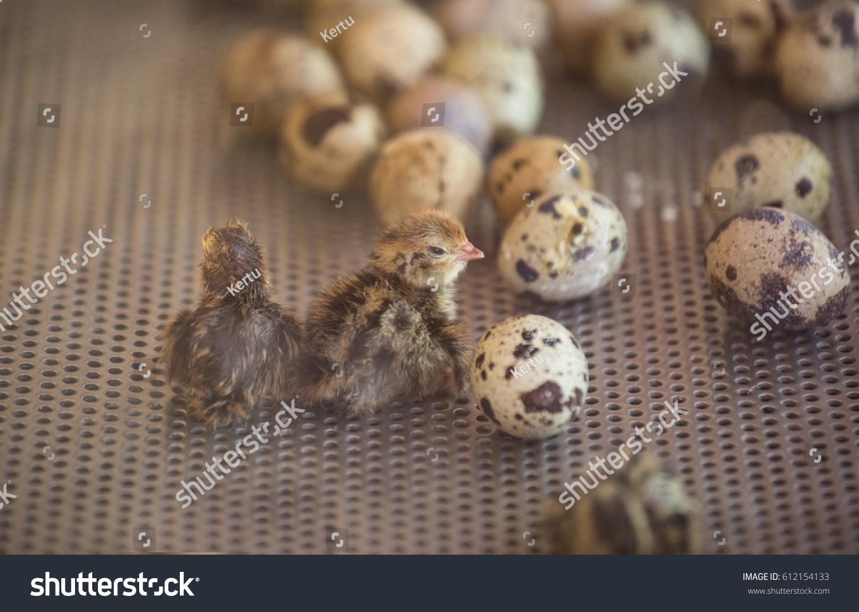 Инкубация перепелиных яиц: режим инкубации. - Инкубаторы 68