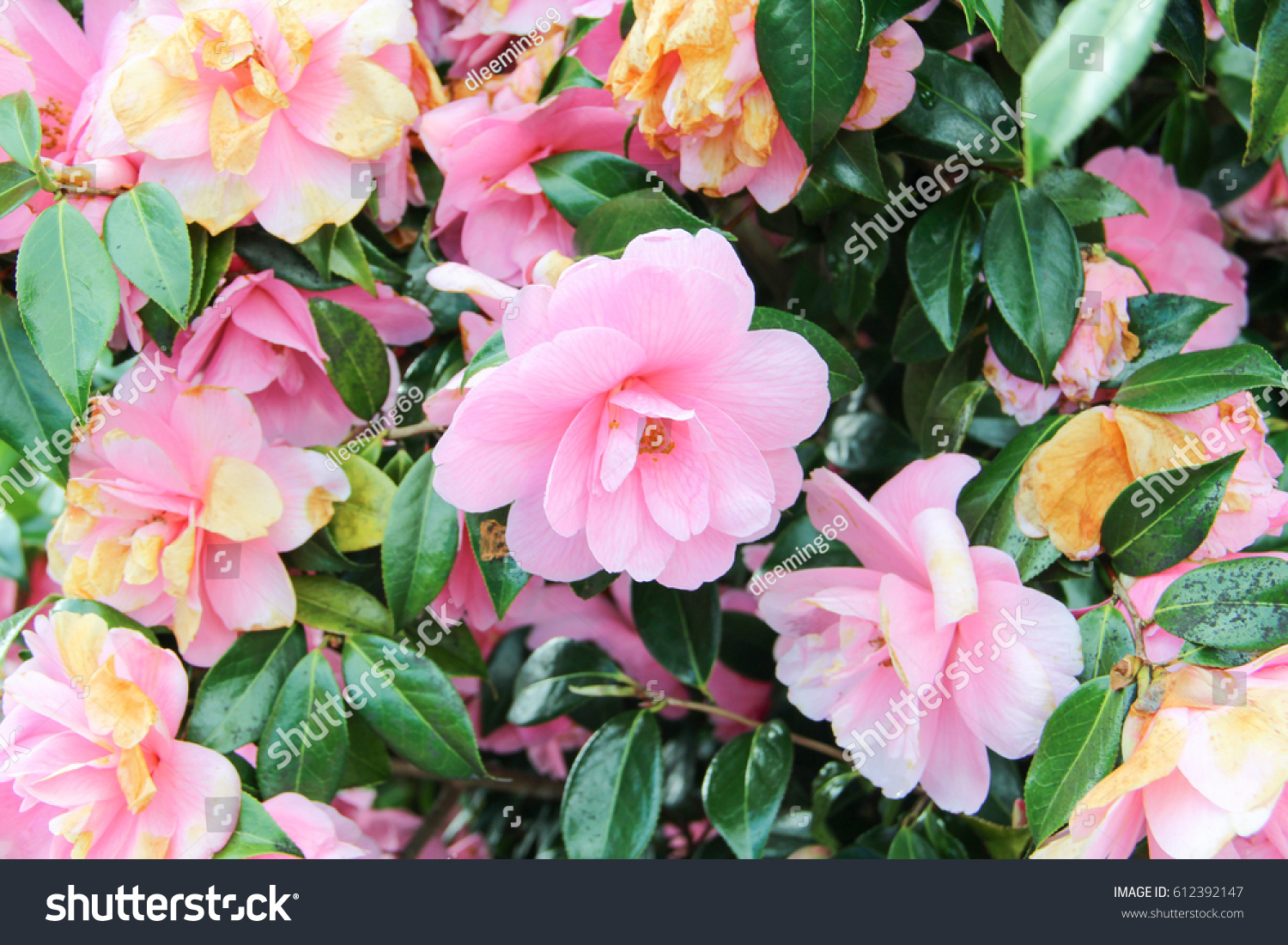 Camellia Bush Bright Pink Flowers Stock Photo Edit Now 612392147