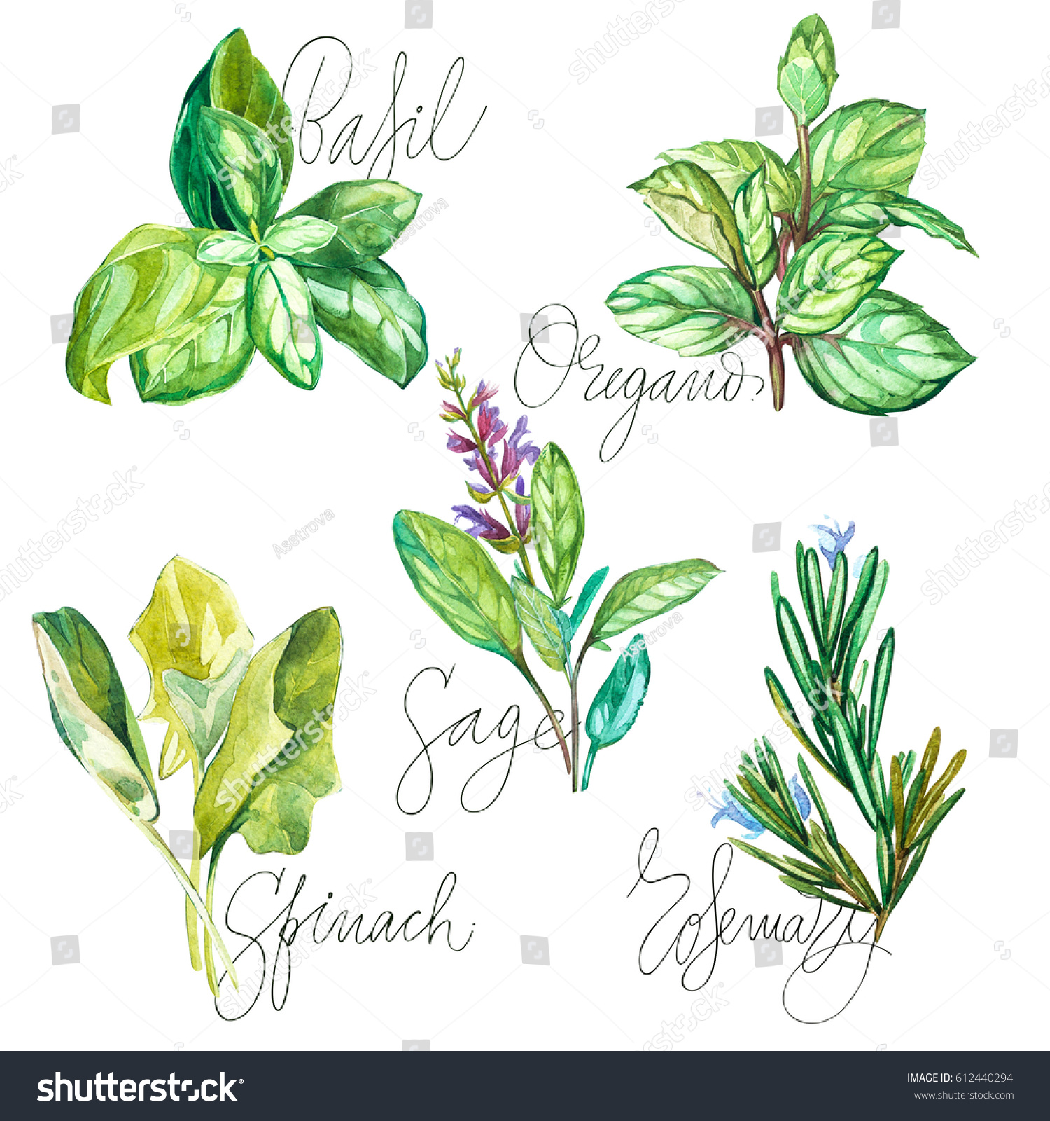 watercolor collection fresh herbs isolated basil stock