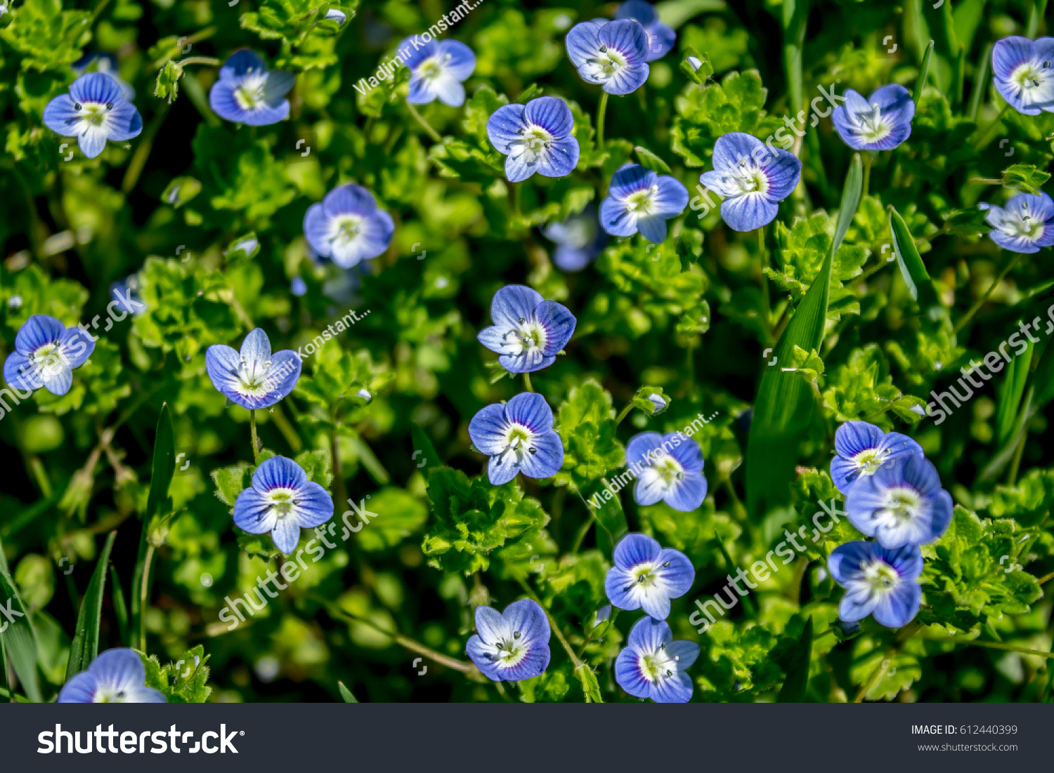 Small Blue Flowers Green Grass Stock Photo Edit Now 612440399