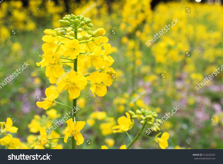 Close Yellow Canola Flowers Jeju Island Stock Photo Edit Now