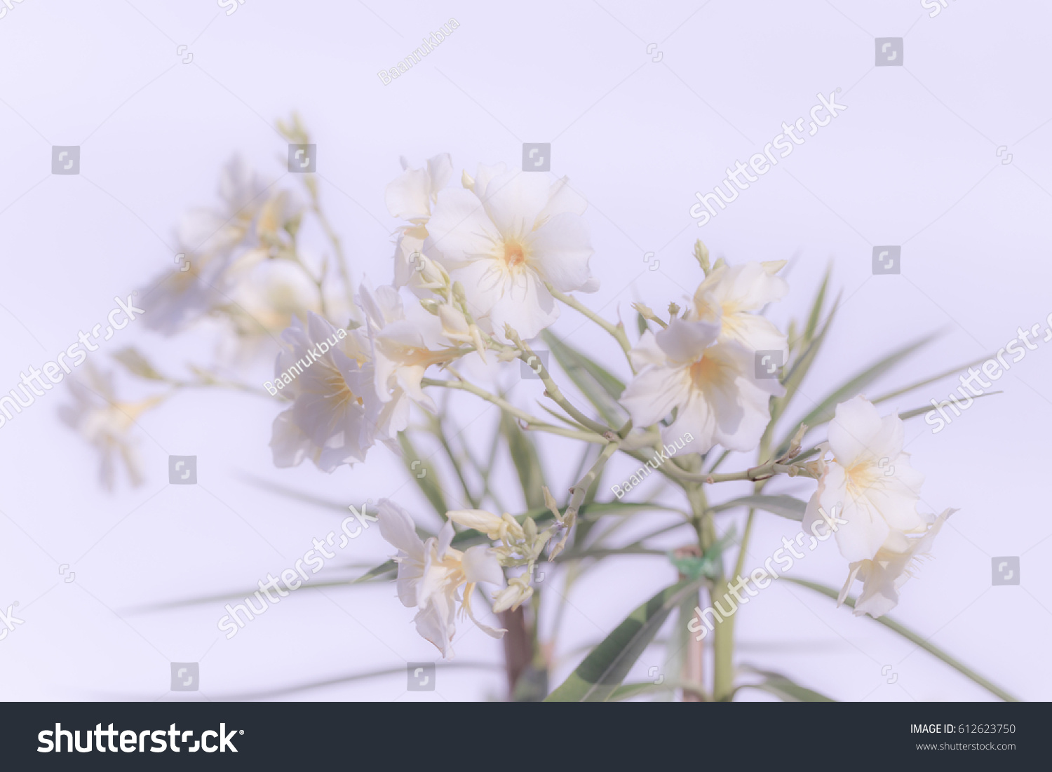 Close White Oleander Flower Soft Focus Stock Photo Edit Now