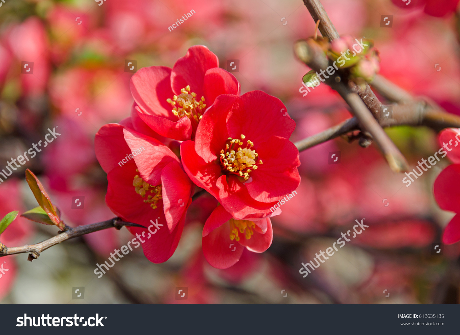Chaenomeles Japonica Pink Tree Flowers Maules Quince Gutuiul