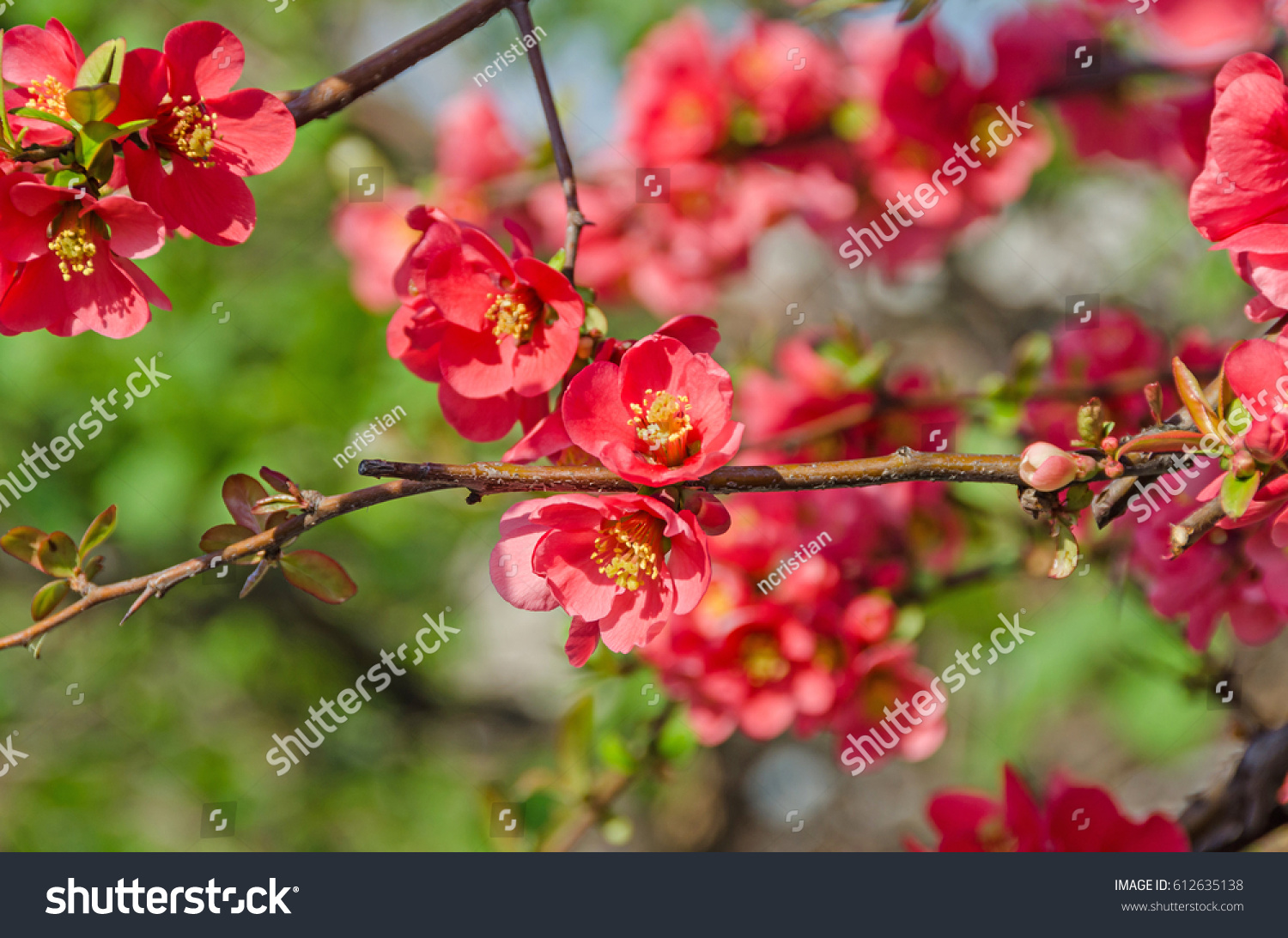Chaenomeles Japonica Pink Tree Flowers Maules Stock Photo Edit Now
