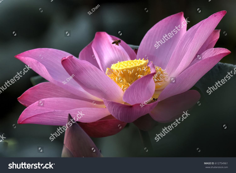 Closeup Pink Lotus Flower Malaysia Pink Stock Photo Edit Now