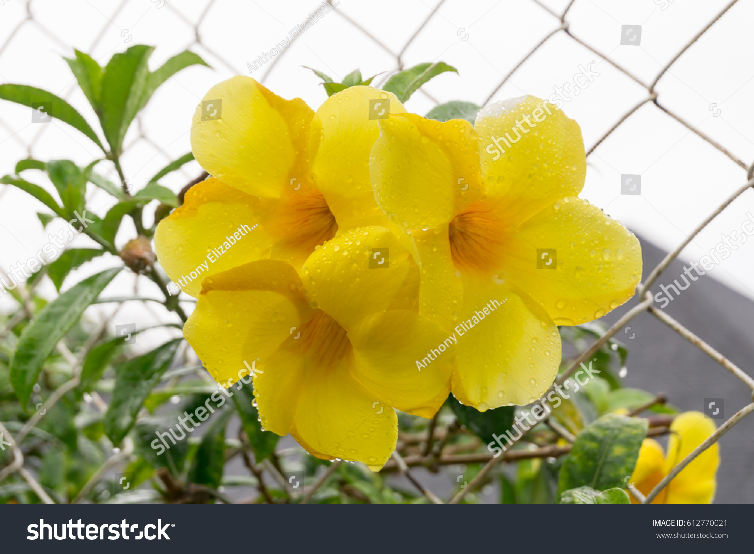 Yellow Tropical Flower Climbing Fence Philippines Stock Photo Edit